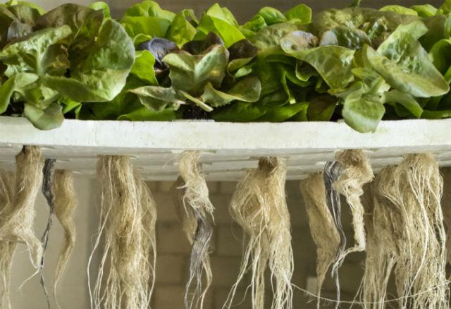 Aquaponic-roots
