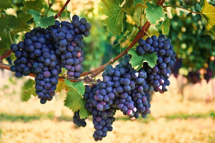 ovoce-vinna-reva-4