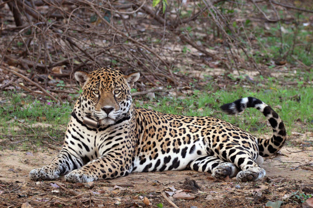 jaguar pantal